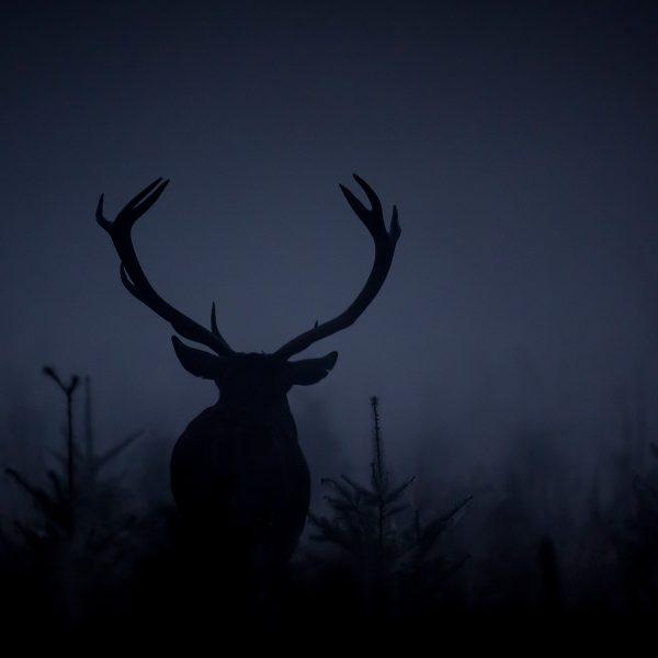 cerf bois nature Ardennes belges sapins nuit