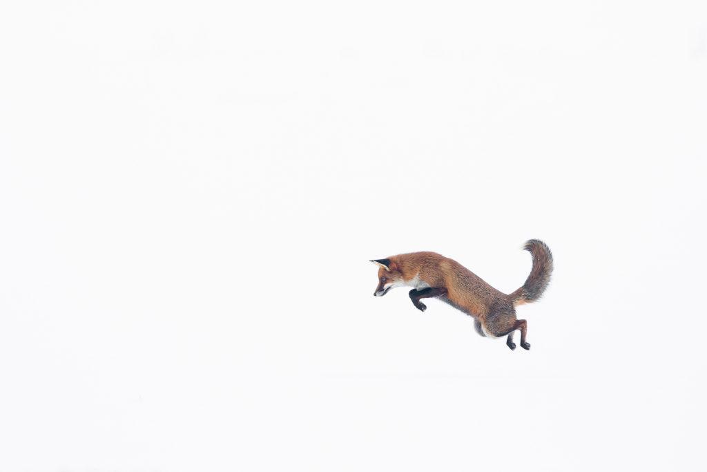 Photographie d'art Michel d'Oultremont Belgique animaux renard roux neige