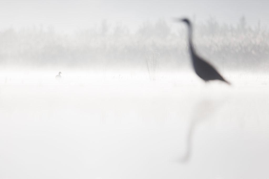Photographie d'art Michel d'Oultremont Belgique animaux héron hollande