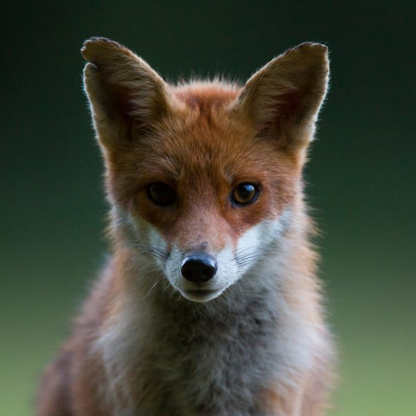 renard de face renard roux nature photo