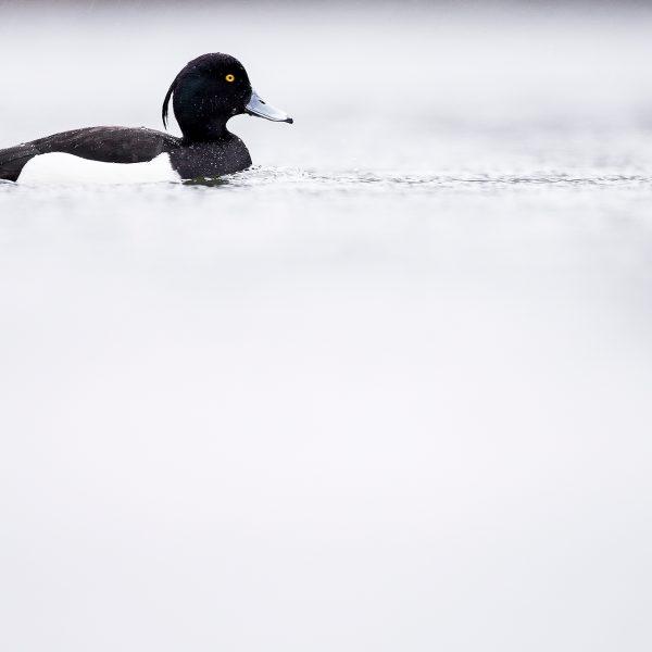 étang oiseau nature photo fuligule morillon