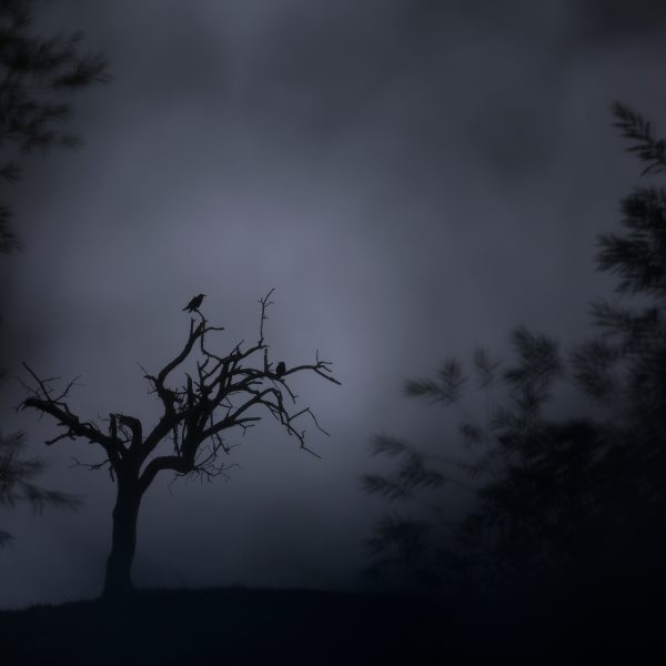 corneille noir arbre nature photos
