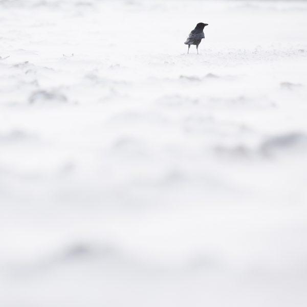 sable blanc corneille noir animal nature