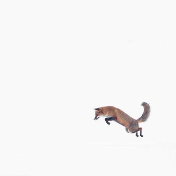 Photographie d'art Michel d'Oultremont Belgique animaux renard roux