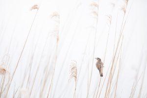 Photographie d'art Michel d'Oultremont Belgique animaux roseaux france