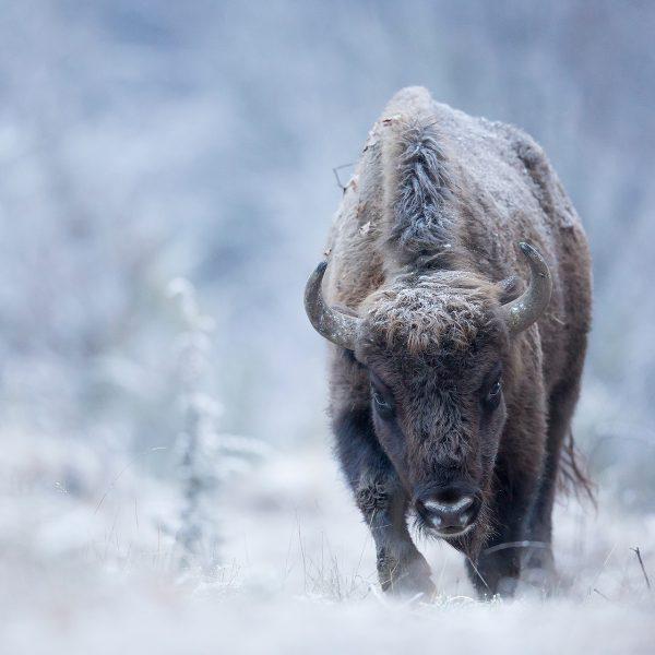 Photographie d'art Michel d'Oultremont Belgique animaux bison Roumanie