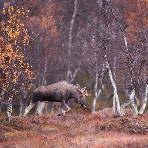 Photographie d'art Michel d'Oultremont Belgique animaux Elan norvège