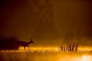 Photographie d'art Michel d'Oultremont Belgique animaux chevreuil Pays-Bas