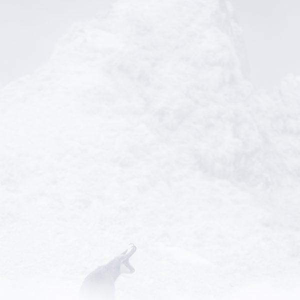 Photographie d'art Michel d'Oultremont Belgique animaux chamois Vosges france