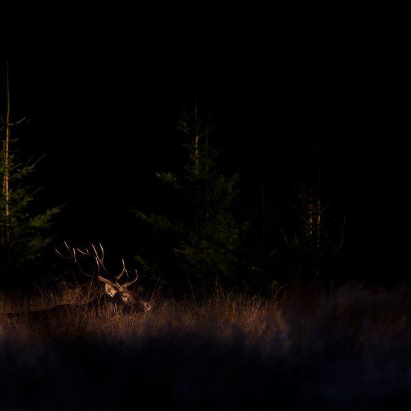 Photographie d'art Michel d'Oultremont Belgique animaux cerf brame