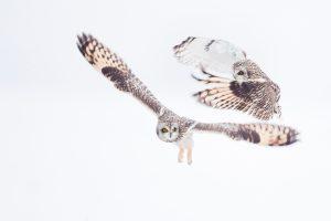 Photographie d'art Michel d'Oultremont Belgique animaux hibou des marais