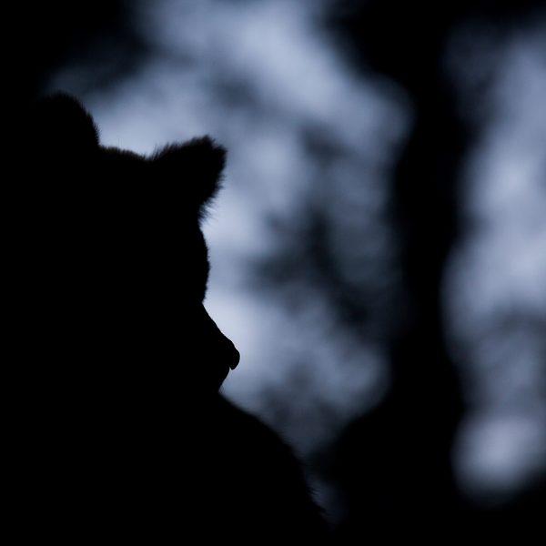 Photographie d'art Michel d'Oultremont Belgique animaux ours nuit
