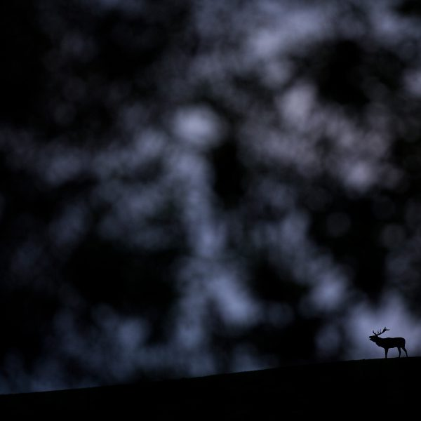 Photographie d'art Michel d'Oultremont Belgique animaux cerf brame nuit