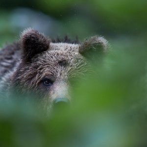 Photographie d'art Michel d'Oultremont Belgique animaux bear Croatia