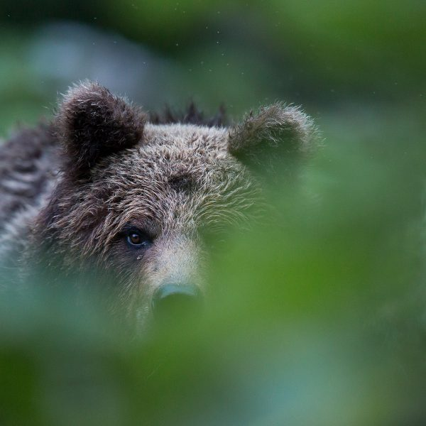 Photographie d'art Michel d'Oultremont Belgique animaux bear Croatia