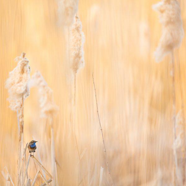 Photographie d'art Michel d'Oultremont Belgique animaux gorge bleue