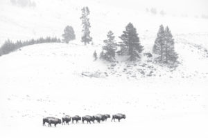 troupeau bisons paysages sapins hiver neige Yellowstone photographie