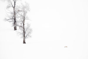 renard hiver Yellowstone photographie paysage arbres