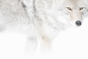coyote Yellowstone nature neige hiver photographie