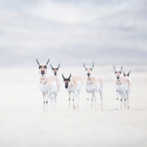 hiver pronghorns yellowstone troupeau photographie neige