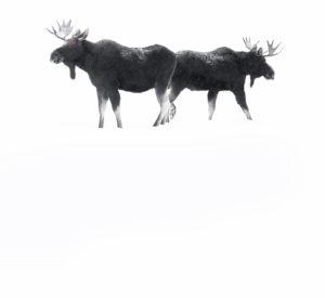 élans de dos hiver neige Yellowstone photographie