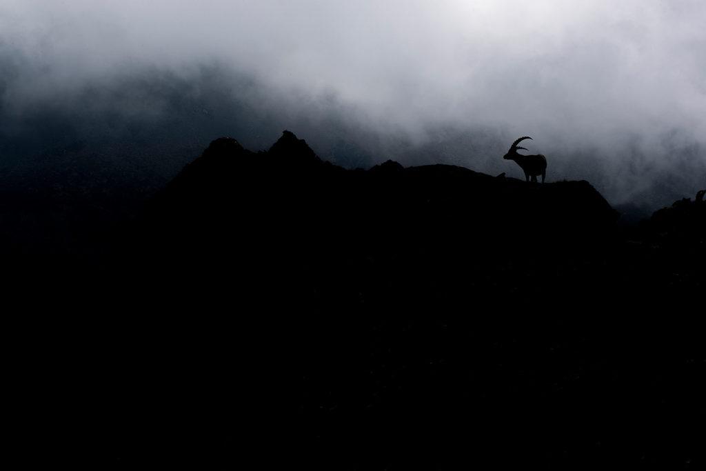 Photographie d'art Michel d'Oultremont Belgique animaux bouquetin montagne