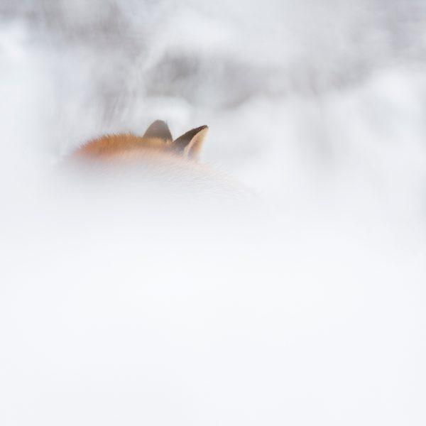 renard neige blanc hiver photo nature