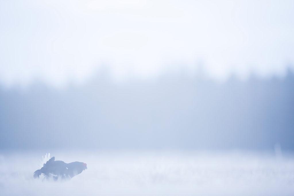 Photographie d'art Michel d'Oultremont Belgique animaux tétras lyre suède