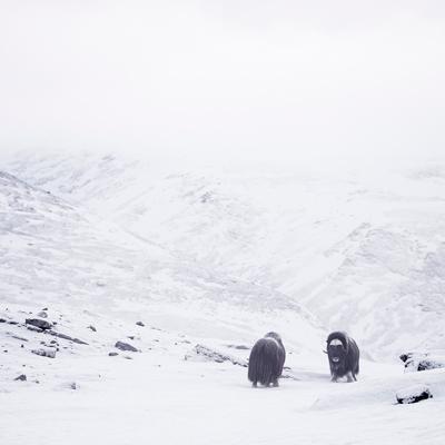 neige montagne toundra norvégienne bisons hiver