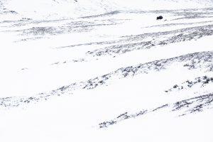 toundra norvège bison neige nature hiver