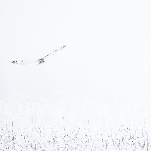 hibou des marais France nature neige hiver