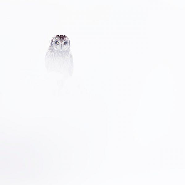 Hiboux des marais neige blanc hiver