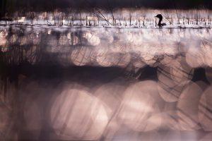 Photographie d'art Michel d'Oultremont Belgique animaux grèbe à cou noir Pays-Bas