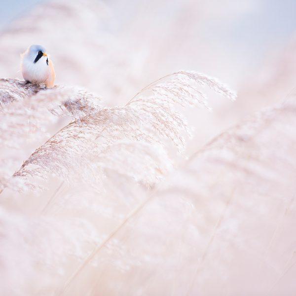 Photographie d'art Michel d'Oultremont Belgique animaux panure à moustache