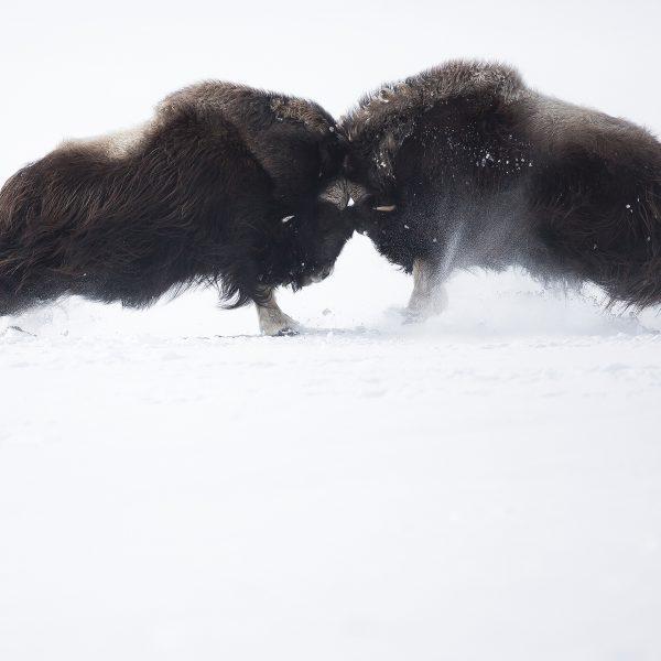 Photographie d'art Michel d'Oultremont Belgique animaux boeuf musqué combat