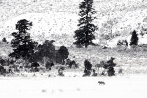 loup hiver neige Yellowstone photographie