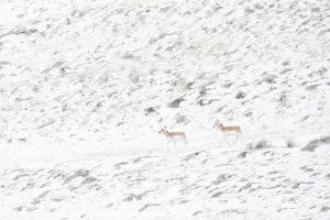 pronghorn paysage neige Yellowstone
