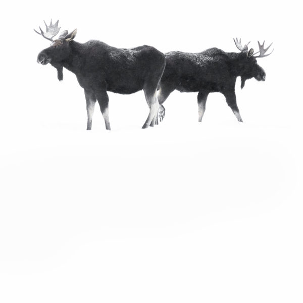 élans neige Yellowstone photographie