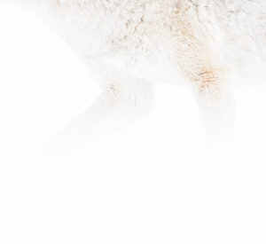 Coyote pattes hiver neige Yellowstone photographie