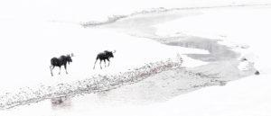 élans rivière hiver neige Yellowstone photographie