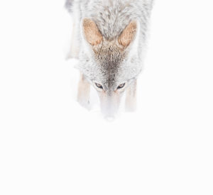 coyote de face hiver neige Yellowstone photographie