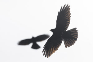 Crows in the Himalayas