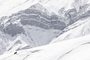 Ibex in the Himalayas