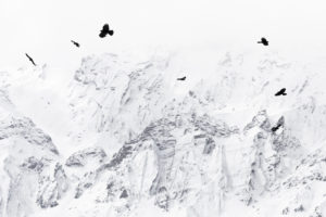 Crows flawing in the Himalayas