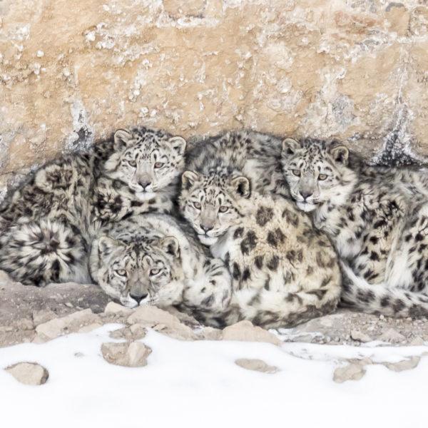 Léopard des neiges et sa progéniture