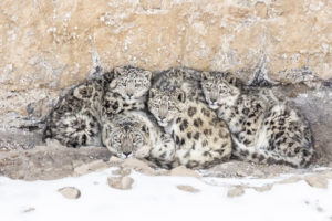Snow leopard and her babies